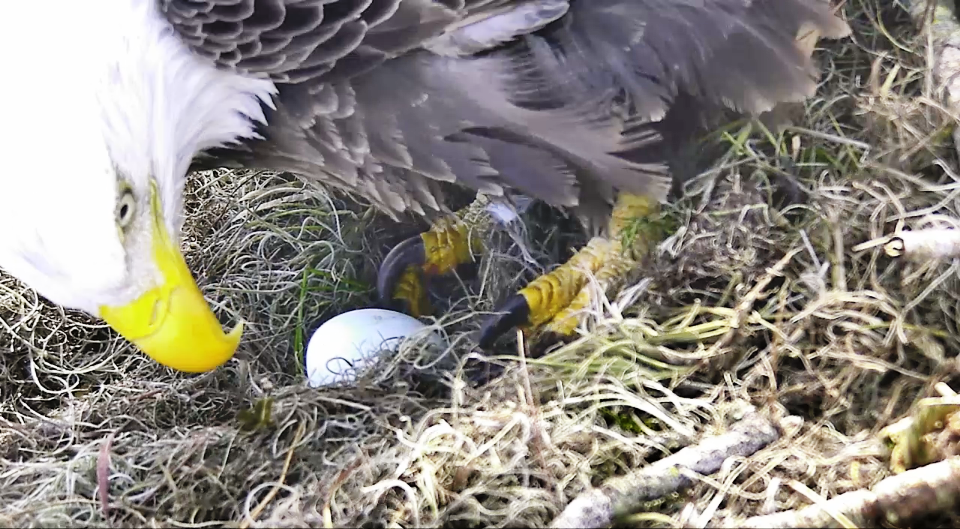 Bald Eagles Shown In A Nest Harmar On Tuesday Dec 26 2017